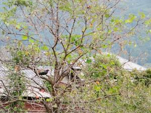 木でひとやすみするキジ